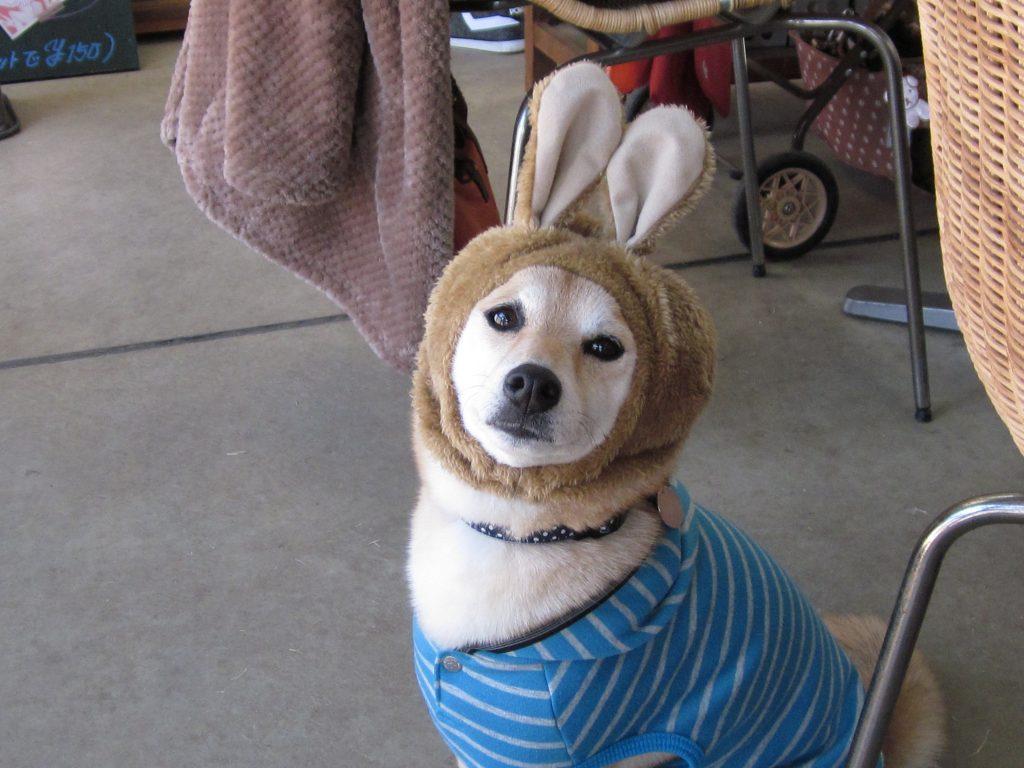 中型犬用うさぎの耳