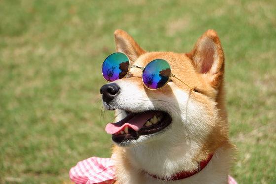 柴犬の華ちゃん、中型犬用サングラスを着用